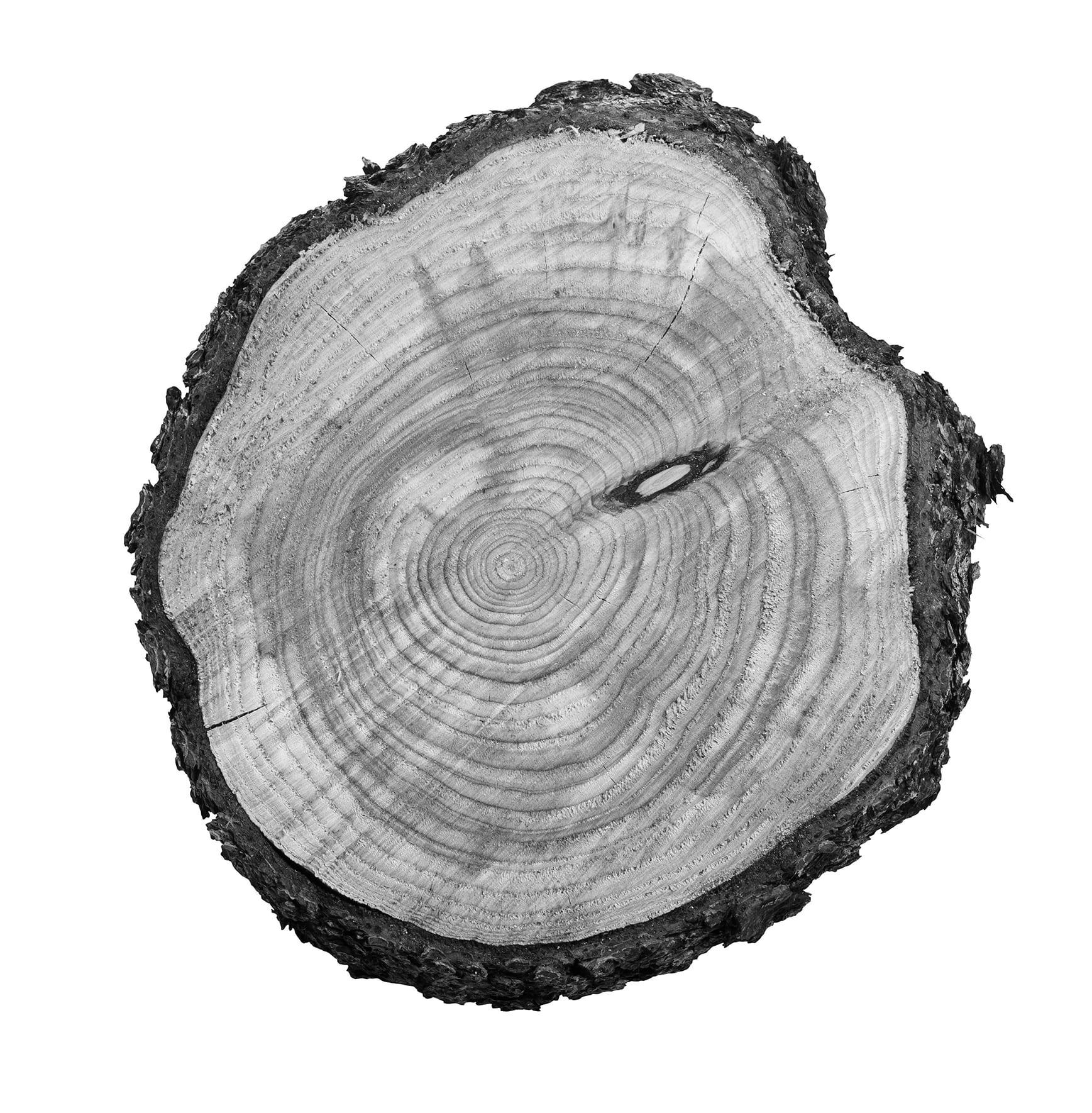 A black and white tree stump slice
